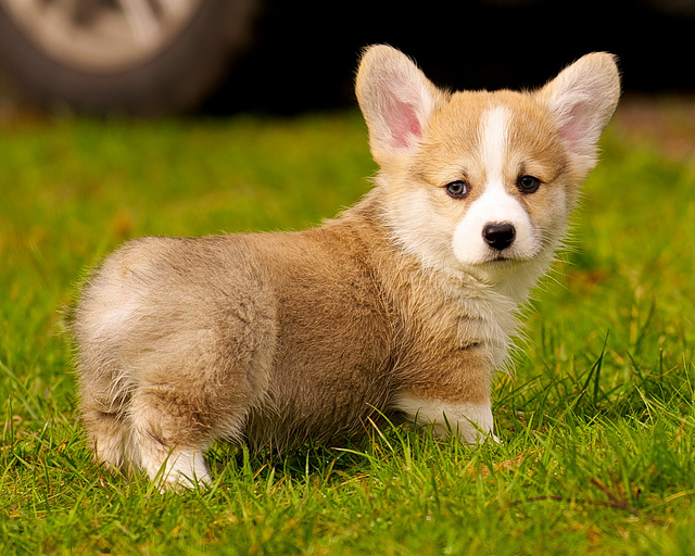 Getting A Corgi Puppy And What To Expect Corgi Guide