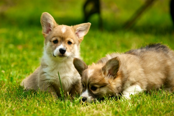 Welsh Corgis Puppies